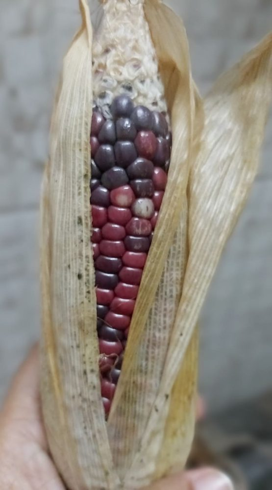 Colored Maize